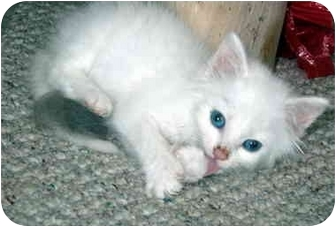 Domestic Mediumhair Kitten for adoption in Duncan, British Columbia - Baby Puff
