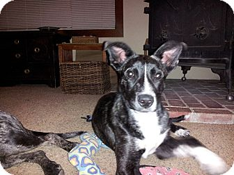 Border Collie/Staffordshire Bull Terrier Mix Puppy for adoption in Grass Valley, California - Sierra