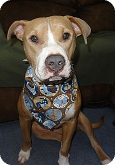 American Staffordshire Terrier/Boxer Mix Dog for adoption in Hadley, Michigan - Hope-URGENT!!!