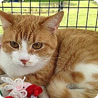 Domestic Shorthair Cat for adoption in Mount Airy, North Carolina - Sweetie