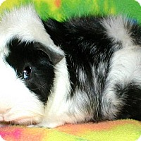 Adopt A Pet :: Oreo (a) - Steger, IL