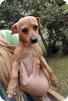Chihuahua Mix Puppy for adoption in Savannah, Georgia - Chandler