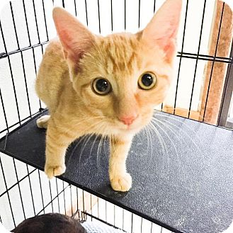 Domestic Shorthair Cat for adoption in Fort Worth, Texas - Twinkie