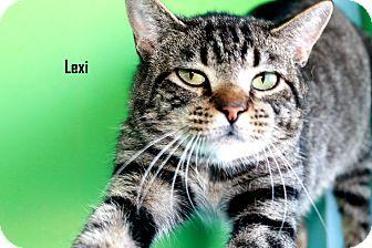 American Shorthair Cat for adoption in Arkadelphia, Arkansas - Lexi