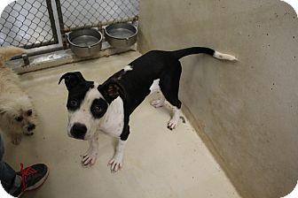 Labrador Retriever Mix Dog for adoption in Odessa, Texas - A13 JERSEY