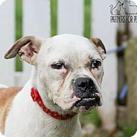 American Bulldog Mix Dog for adoption in Troy, Illinois - Jojo Fostered (Tammy)