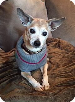 Miniature Pinscher/Rat Terrier Mix Dog for adoption in Clayton, California - Miya