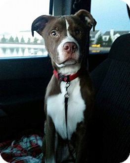 Pit Bull Terrier Mix Puppy for adoption in Indianapolis, Indiana - Finn