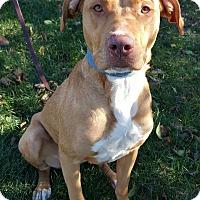 Staffordshire Bull Terrier/Shar Pei Mix Dog for adoption in Lisbon, Iowa - Gypsy