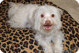 Maltese/Yorkie, Yorkshire Terrier Mix Dog for adoption in Agoura Hills, California - 'GERI'
