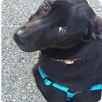 Adopt A Pet :: Zuzu - Brattleboro, VT