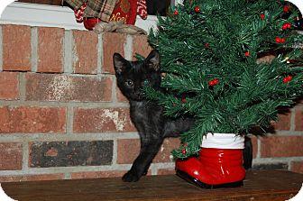 American Shorthair Kitten for adoption in Minot, North Dakota - Hiwa