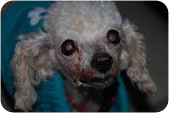 Toy Poodle Dog for adoption in Chandler, Arizona - Jay