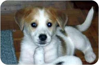Blue Heeler Beagle Mix Blue heeler/beagle mix puppy