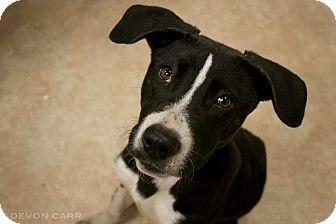 Greyhound/Pointer Mix Puppy for adoption in Avon, Ohio - Abel