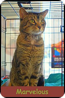 Domestic Shorthair Cat for adoption in Merrifield, Virginia - Marvelous
