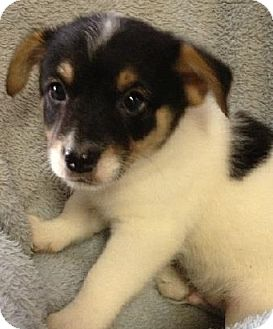 Chihuahua/Cairn Terrier Mix Puppy for adoption in Gainesville, Florida - Danger
