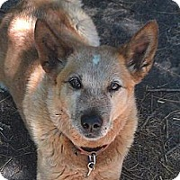 Australian Cattle Dog Dog for adoption in Remus, Michigan - Sr Allaster on a Trial