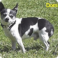 Adopt A Pet :: Domino - Santa Barbara, CA