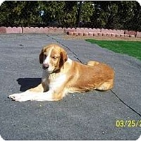 Adopt A Pet :: Zara - Seymour, CT