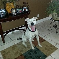 American Bulldog Mix Dog for adoption in Tampa, Florida - ROMAN (DG)