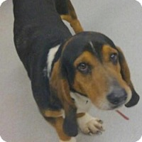 Adopt A Pet :: Dixon - Carrollton, TX