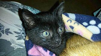 Domestic Shorthair Kitten for adoption in Bethpage, New York - Batman