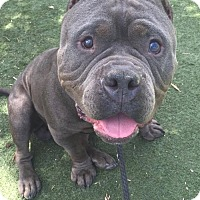 Adopt A Pet :: Gumdrop - West Los Angeles, CA