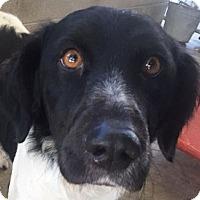 Adopt A Pet :: KIMBER - Pine Grove, PA