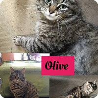 Domestic Mediumhair Cat for adoption in Whiting, Indiana - Olive