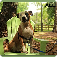 American Staffordshire Terrier Mix Dog for adoption in Sarasota, Florida - Allie