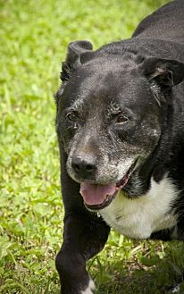 Labrador Retriever Mix Dog for adoption in Poland, Indiana - Larry