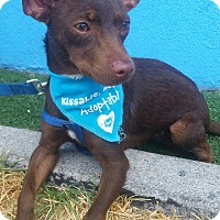 Chihuahua Mix Dog for adoption in Los Angeles, California - Chestnut