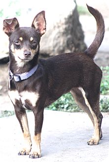 Miniature Pinscher Mix Dog for adoption in Woonsocket, Rhode Island - Millie