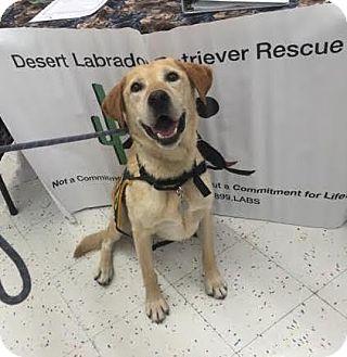 Labrador Retriever Dog for adoption in Phoenix, Arizona - Jams