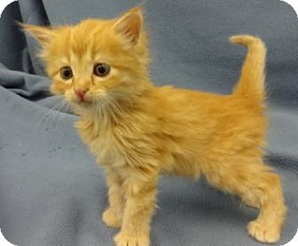 Domestic Mediumhair Kitten for adoption in Olive Branch, Mississippi - Linda