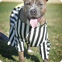 American Staffordshire Terrier Mix Dog for adoption in St. Louis, Missouri - MeredithGrey