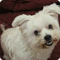 Adopt A Pet :: Sydney - Hilton Head, SC