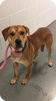 Labrador Retriever/Shar Pei Mix Dog for adoption in Mt. Pleasant, Michigan - Buzz