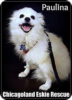 American Eskimo Dog Mix Dog for adoption in Elmhurst, Illinois - Paulina