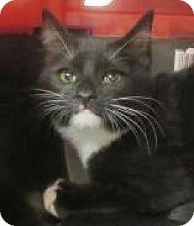 Domestic Shorthair Kitten for adoption in Lincolnton, North Carolina - Jessie $20