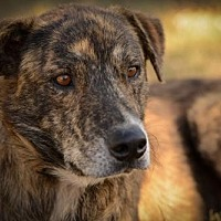Labrador Retriever/Mountain Cur Mix Dog for adoption in Olympia, Washington - Valentine W