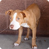 Adopt A Pet :: Rocky - Pipe Creed, TX