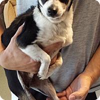 Adopt A Pet :: Chiquito - Westminster, CA