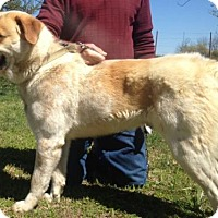 Great Pyrenees/Australian Cattle Dog Mix Dog for adoption in Plainfield, Connecticut - Buddy Hargrave