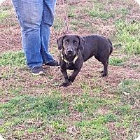 Adopt A Pet :: Truffles~ meet me! - Glastonbury, CT