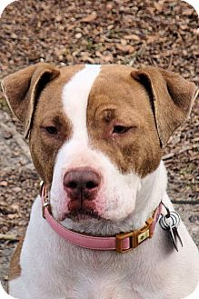 American Staffordshire Terrier Dog for adoption in West Columbia, South Carolina - Flora
