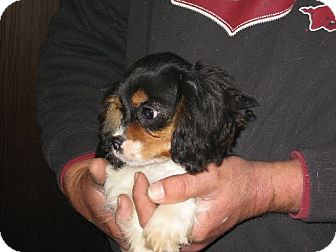 Cavalier King Charles Spaniel Puppy for adoption in Allentown, Pennsylvania - Olivia