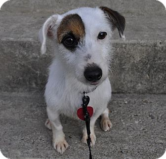 Jack Russell Terrier Dog for adoption in Arkansas City, Texas - Roxie in Little Rock