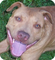 Pit Bull Terrier Mix Dog for adoption in Cedar Rapids, Iowa - Noah